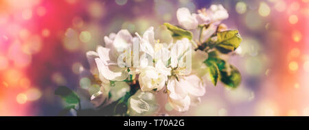 Spring blossoms apple tree in sunny day - Stock Photo