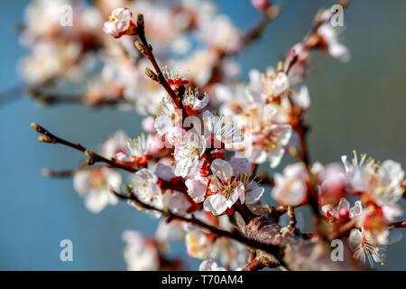 Apricot tree flowers in spring season. - Stock Photo