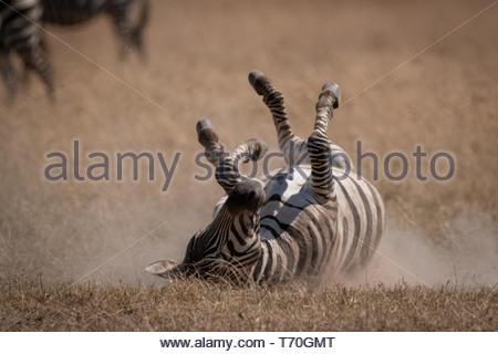 Plains zebra rolling on back in grassland - Stock Photo