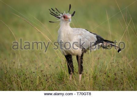 Secretary bird standing in grass on savannah - Stock Photo