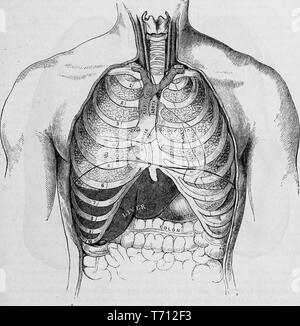 Black and white print showing a frontal view of a male human chest, cutaway to reveal the rib cage, trachea, lungs, liver, stomach, and colon, illustrated by Henry Vandyke Carter, and published in Henry Gray's medical volume 'Anatomy, descriptive and surgical', 1860. Courtesy Internet Archive. () - Stock Photo