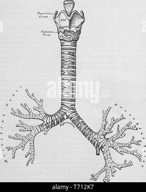 Black and white print showing a frontal view of a portion of the human respiratory tract, consisting of the trachea and the bronchial tubes, illustrated by Henry Vandyke Carter, and published in Henry Gray's medical volume 'Anatomy, descriptive and surgical', 1860. Courtesy Internet Archive. () - Stock Photo