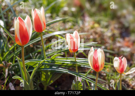 Red-yellow-white Tulipa 'Authority' in the rays of the suns in the garden on a sunny spring day - Stock Photo