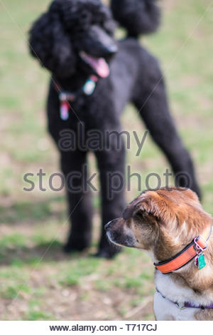 A brown dog in foreground is looking back at a black French poodle in background - Stock Photo