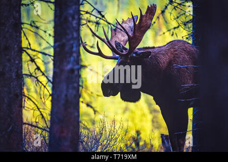 A male moose in the Canadian forest - Stock Photo