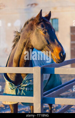 thoroughbred horse portrait at sunset - Stock Photo