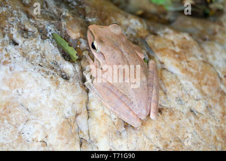 tree frog hide the top of stone by adjusting the skin - Stock Photo