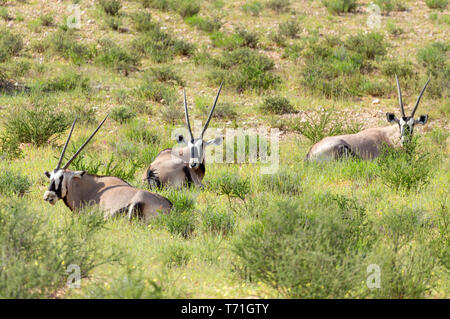 Gemsbok, Oryx gazella in Kalahari - Stock Photo