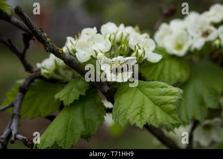 Spring. Flowers blossom. Bee pollination of flowers. The bee is sitting on a flower. Branch of the tree with flowers. Flowering trees. Forest. Garden. - Stock Photo
