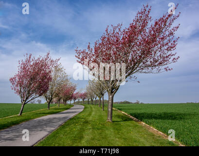 Avenue of trees in Northfield Huggate Yorkshire Wolds - Stock Photo