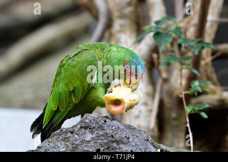 The Great Green Macaw also known as Buffon's Macaw or the Great Military Macaw, is a Central and South American parrot found in Nicaragua, Honduras, B - Stock Photo