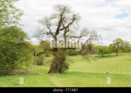 Sweet Chestnut Tree - Castanea sativa - planted by Mary Queen of Scots, Cumbernauld House Park, Cumbernauld, North Lanarkshire, Scotland, UK - Stock Photo