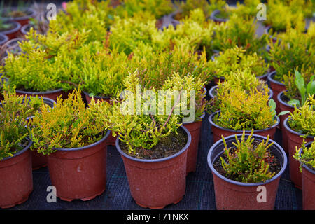 Thuja occidentalis in garden center. Plant nursery. Decorative potted plant at flower shop - Stock Photo