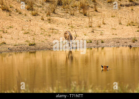 Spotted deer (Axis axis) stag drinks unaware of a nearby tiger (Bengal tiger, Panthera tigris) in the water, Bandhavgarh National Park, Madhya Pradesh - Stock Photo