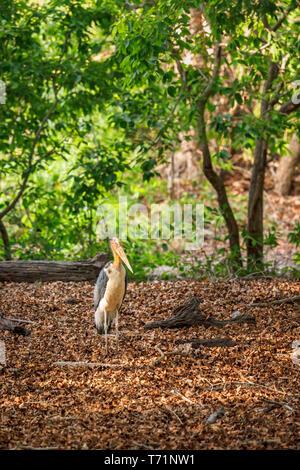 Lesser adjutant (Leptoptilos javanicus), a large wading bird in the stork family, Bandhavgarh National Park, Umaria district, Madhya Pradesh, India - Stock Photo