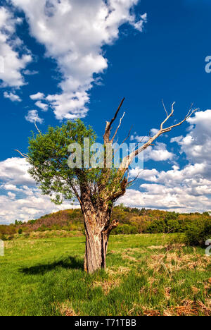 Old Willow with new branches sprouting in spring; - Stock Photo
