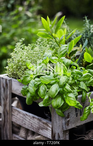 Fresh organic basil growing in a flowerpot inside an old vintage wooden crate outdoors in a spring garden in a close up vertical view - Stock Photo