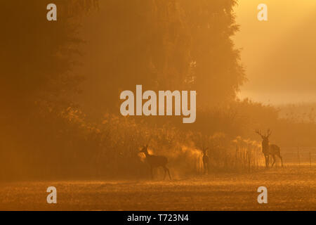 Red Deer stag, hind and calf at early morning - Stock Photo