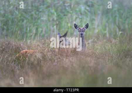 Red Deer hind and calf - Stock Photo