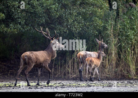 Red Deer stag, hind and calf - Stock Photo