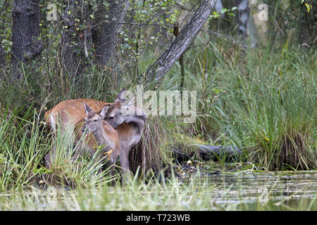 Red Deer hind and calf at pondside - Stock Photo