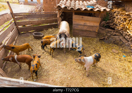 sow and little pigs in the enclosure - Stock Photo