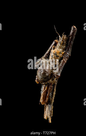 A photograph of a caddis larva case found in a small, slow moving stream with a muddy bottom. There are many species of caddis fly in the UK and this  - Stock Photo