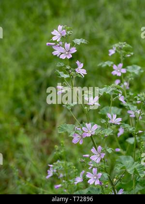 Comon mallow plant, in flower, Malva silvestris. Medicinal herb. - Stock Photo