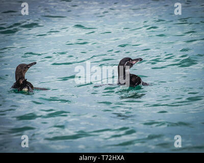 Galapagos penguins swimming in the sea - Stock Photo