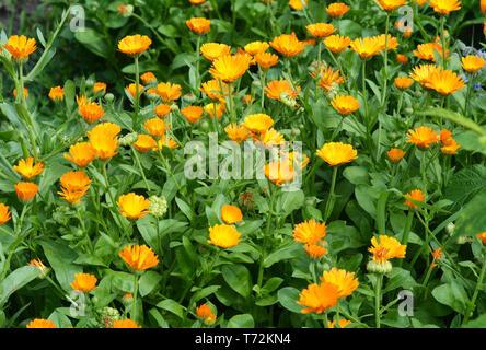 Calendula officinalis or Pot Marigold, Common Marigold, Scotch Marigold, Ruddles, Pot Marigold. - Stock Photo