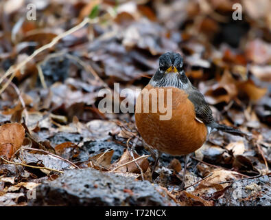 Adorable Male American Robin (Turdus migratorius) plump from engorgement of fallen apples in beautiful copper plumage
