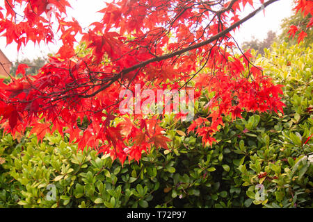Acer palmatum 'Red Baron' Japanese Maple Tree, in English garden on a bright autumn day - Stock Photo