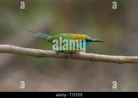 Green Bee-eater.Merops orientalis. Single adult on branch. Sri Lanka. - Stock Photo