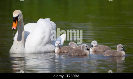 Beautiful close up of mute swan parent (Cygnus olor) out with five baby cygnet chicks in the spring sunshine swimming in natural habitat, UK pond. - Stock Photo