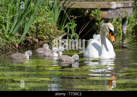 Beautiful close up of mute swan parent (Cygnus olor UK) outdoors with five baby cygnets in the spring sunshine swimming in natural habitat, UK pond. - Stock Photo