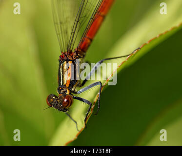 Libelle - dragonfly - Stock Photo