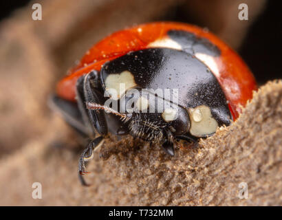 Tiny red ladybug with 4 spots on brown leaf macro photography - Stock Photo
