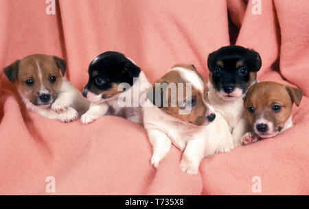 litter of jack russell puppies - Stock Photo