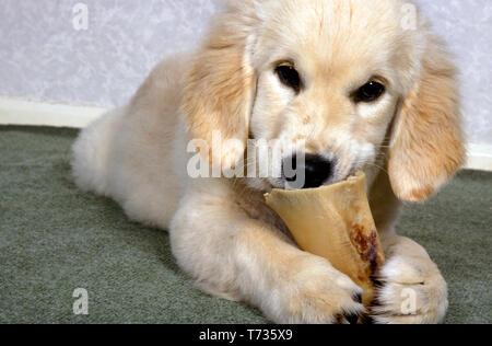 golden retriever puppy chewing on marrowbone - Stock Photo