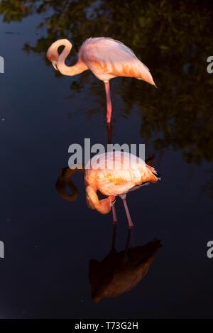 Caribean (American) flamingo in the lagoons of Puerto Villamil of Isabela Island, Galapagos.