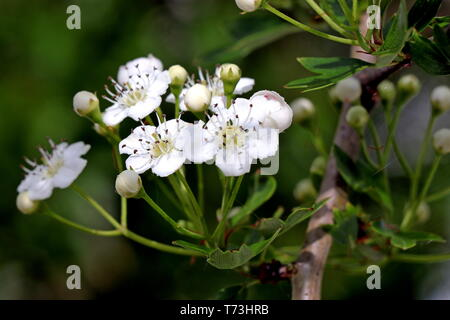 Hawthorn; Crataegus, hawthorn, quickthorn, thornapple, May-tree, whitethorn, hawberry, genus Rosaceae, native to the Northern Hemisphere in Europe - Stock Photo