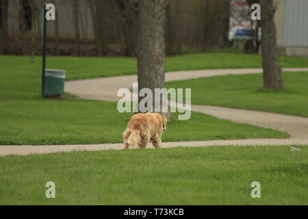 Outdoor portrait of an obedient dog an elderly female golden retriever.. - Stock Photo
