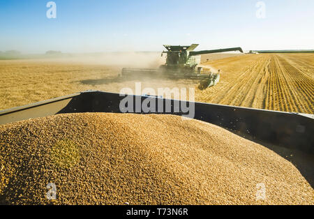 A combine harvester harvests winter wheat with a loaded grain wagon in the foreground, near Niverville; Manitoba, Canada - Stock Photo