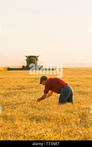 A farmer examines the crop while a combine harvester harvests winter wheat, near Niverville; Manitoba, Canada - Stock Photo