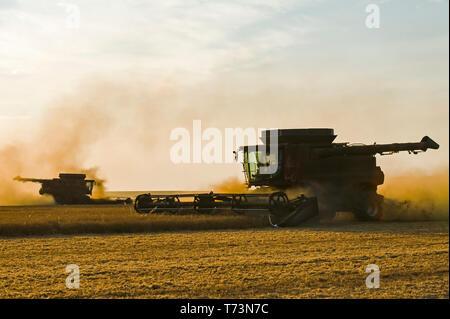 A combine harvester works in a yellow field pea field, near Winnipeg; Manitoba, Canada - Stock Photo