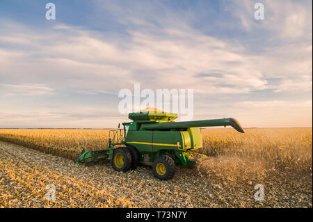 A combine harvester works in a field of mature feed/grain corn during the harvest, near Niverville; Manitoba, Canada - Stock Photo