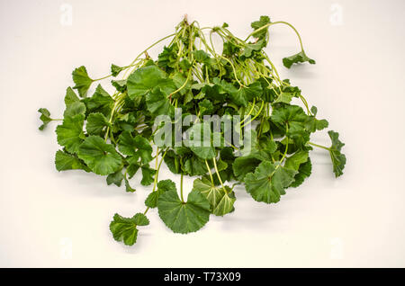 Tender early spring grass Malva Armenian used in salads and soups and medical industry - Stock Photo