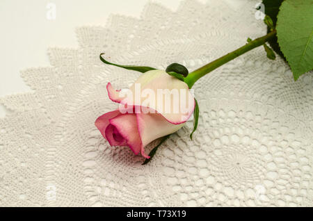 Half-open white rose Bud with pink border on the edges, with a long stem and leaf lies at an angle on top of white knitted openwork napkin - Stock Photo