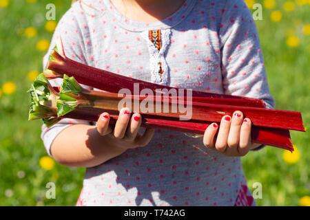 Young girl harvesting fresh organic rhubarb in spring - Stock Photo