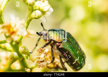 Closeup of Goldsmith beetle - Cetonia aurata - on a beautiful flower - Stock Photo